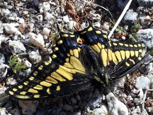 Anise Swallowtail butterfly in Anza Borrego Desert State Park, CA