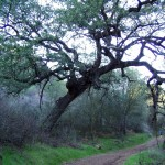 Daley Ranch Engelmann Oak Loop